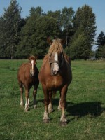 Skadziono konie